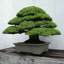 CEDRO JAPONES 100 SEMILLAS Cryptomeria japonica IDEAL PARA BONSAI