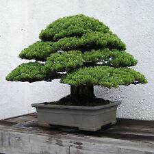 CEDRO JAPONES 60 SEMILLAS Cryptomeria japonica IDEAL PARA BONSAI