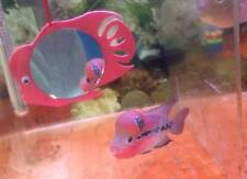 Flowerhorn Mirror - Bring Out The Beauty Of Your Flowerhorn Cichlid Fish!