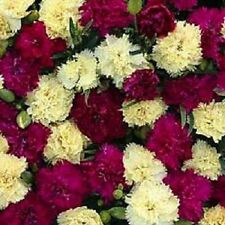 30+ Fizz Banana Berry Carnation Dianthus / Perennial Flower Seeds