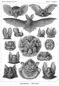 Framed Print - Vintage Victorian Vampire Bat Illustrations (Animal Picture Bats)
