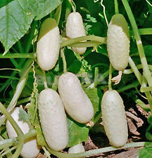 Fresh Seeds Cucumber Anhel-White Angel Organic Vegetable formidable Seed JRAU