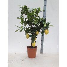 Citrus limon - Echter Zitronenbaum - 80-100 cm