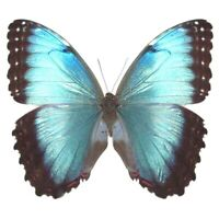 Morpho peleides female ONE REAL BUTTERFLY BLUE UNMOUNTED WINGS CLOSED COSTA RICA