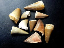 """1/2 """" - 1 1/2 """" Small Mosasaur Tooth Moroccan Fossil Teeth 10 pcs"""