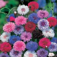200 pcs flower Seeds Cornflower (Centaurea Cyanus) MIX colors