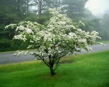 Silky Dogwood ~Limited Time Special 4 Trees~