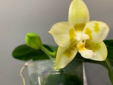Phalaenopsis Yaphon Galacea Peter 3 ! Orchidee Naturform !