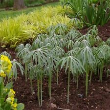 Umbrella Plant- Cyperus Alternifolius- 100 Seeds- BOGO 50% off SALE