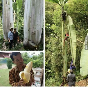 Giant Banana (MUSA INGENS) Tropical Live Fruit Tree