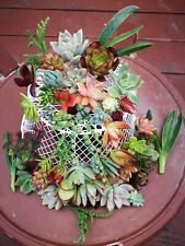 22 Assorted Succulent Cuttings/ 20 Varieties with BONUS
