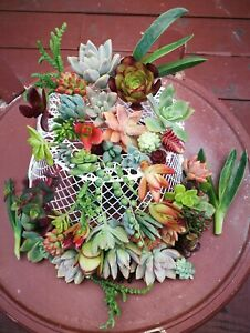 24 Assorted Succulent Cuttings/ 22 Varieties with BONUS