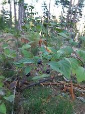 Atropa belladonna Belladone 30 graines Plante des sorcières Récolte 2019