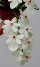 Aerangis Species ´Red Dots´ NEW aufgebunden Orchidee Orchideen