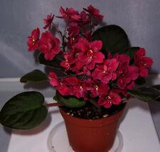 African violet Tomahawk live plant in pot