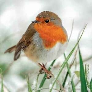 Robin in Falling Snow Christmas Cards Pack of 8 Cards Charity SongBird Survival