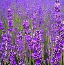 True English Lavender Seeds Herb Flower Romantic Provence Fragrant 10Pc♫