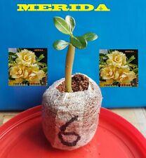 ❀●⊱ ADENIUM OBESUM DESERT ROSE ❁ MERIDA ❁ PLUG PLANT + COCO COMPOST ⊰❀