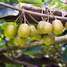 Female Fuzzy Kiwi Vine Plant- 1 Gallon