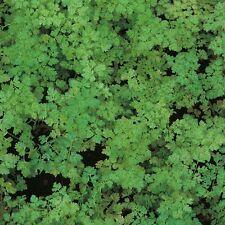 Chervil Curled - Anthriscus cerefolium - 2500 Seeds