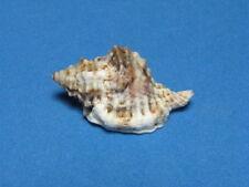 """Cymatium muricinum (Röding, 1798) """" A HAWAIIAN ISLANDS TRITON""""  (32.3mm)"""