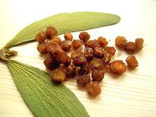 Weißbeerige Mistel, Viscum album, Mistletoe 100 Seeds Samen