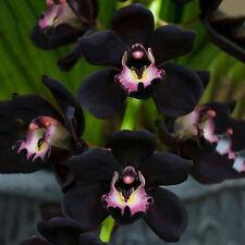 100pcs Black Cymbidium Faberi Orchid Flower Seeds Garden Decor Plant Deko