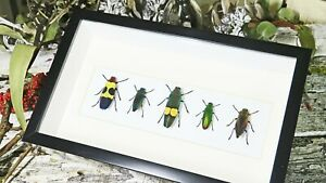 Jewel beetles framed in shadowbox real insects BEJB5