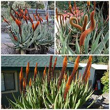 10 Samen der Aloe castanea, saftig, Sukkulenten,seed succulents G