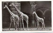 Zoo Berlin, Giraffen, Giraffenherde im Außengehege, um 1950