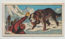 Saint Bernard Dogs Used For Mountain Rescue Vintage Trade Ad Card