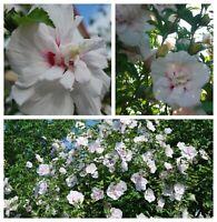 """Rose of Sharon, Hibiscus Syriacus, variété """"China Chiffon"""", hardy!!! 15 seeds"""