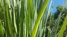 50/1500 Graines de Citronnelle Verveine des Indes Herbe Plante Aromatique