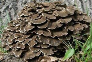 Seeds Mushroom Maitake AntiCancer Dried Mycelium Spawn Spores Substrate Ukraine