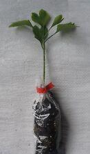 Árbol de culantrillo, plantas árbol de ginkgo biloba 10 - 15cm Enchufe. plantas X 3