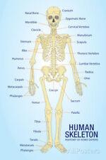 Human Skeleton Anatomy Anatomical Chart Poster Print Poster Print, 13x19