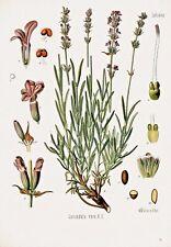 Botanical Herb Medicinal Plants Lavender - 220 Vintage Art Print/Poster