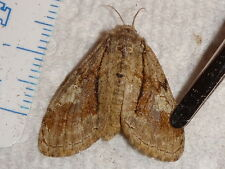Lepidoptera Erebidae Dasychira obliquata Gynandromorph ? Ohio #5199-5202 Moth