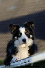 Tri-Colored Border Collie Dog Journal : 150 Page Lined Notebook/Diary by C....