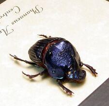 Rare Real Phanaeus Amethystinus Juvenile Male Metallic Scarab Dung Beetle 8328J