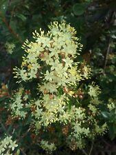 Phebalium squamulosum in 75mm supergro tube Native plant