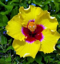 HIBISCUS  STATER LIVE PLANT EXOTIC YELLOW 3 TO 5 INCHES TALL