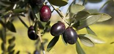 10 OLIVE TREE (Olea Europaea ) Seeds! Free shipping!