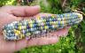 Corn Calico Whisper - A Rare, Stunning Multicoloured Corn Variety!!!