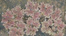 Azolla 100s of plants natural filter stop algae koi pond garden J&J Aquafarms