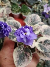 African Violet Plant - Grape Slush~ Variegated ~ in bloom