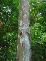 American Sycamore Platanus occidentalis  Moon Tree 50 Seeds  (Free US Shipping)
