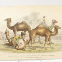 Camel print antique Natural History hand coloured engraving J Stewart