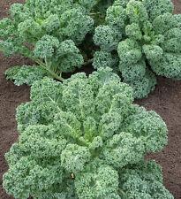 KALE verdura muy nutritiva 300 semilas
