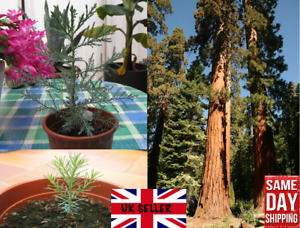 Giant Redwood (Sequoiadendron Giganteum) 30 fresh seeds. Same Day Dispatch